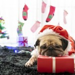 Happy New Year, Merry Christmas, holidays and celebration, Puppy pets bored sleeping rest in the room with Christmas tree. Pug dog in Santa Claus costume hat with the gift box and sock in background.